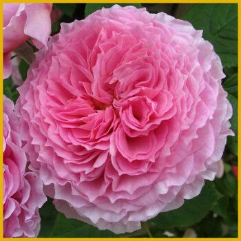 Inglise roosid (paljasjuursed)