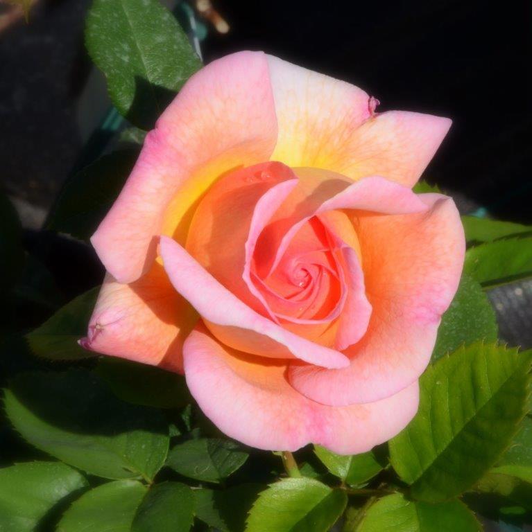 rooside müük