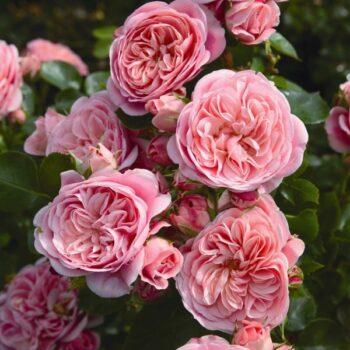paljasjuursed roosid