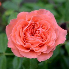 roosid