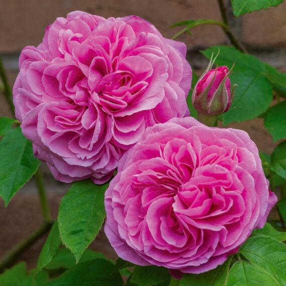 Inglise roos