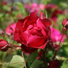 Canadian Explorer Rose 'Adelaide Hoodless' - Rosa 'Adelaide Hoodless'