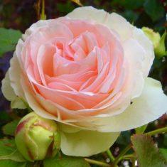 eden-rose.jpg