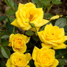 Roos Dream Yellow