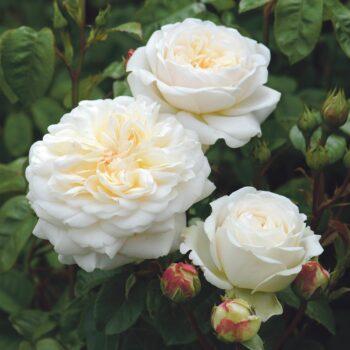 Inglise roosid