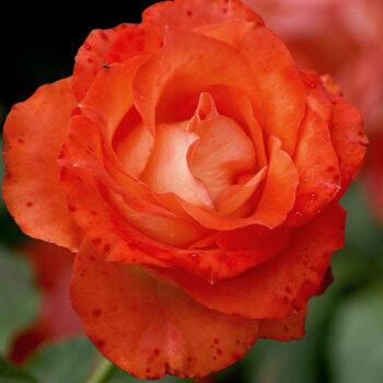 Floribund