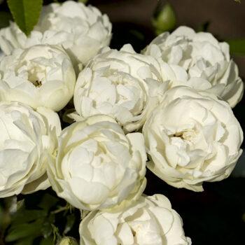 WHITE MORSDAG