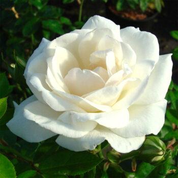 WHITE SYMPHONY