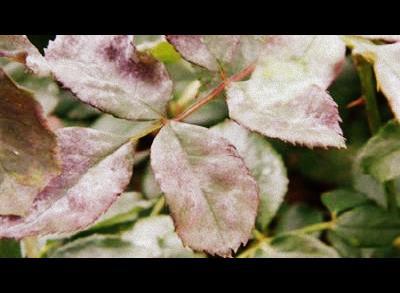 roosihaiguste tõrje