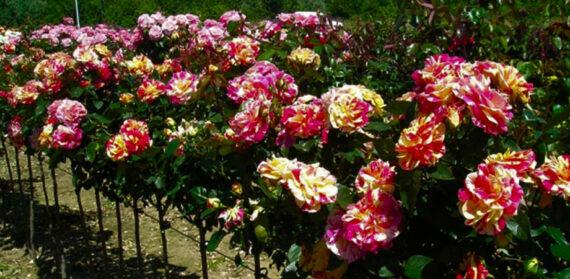 maalitud roosid