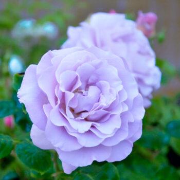 Sinised roosid