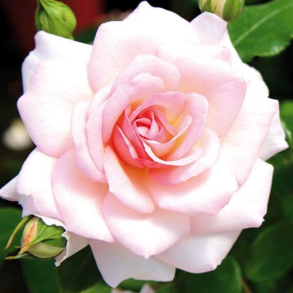 haiguskindel roos