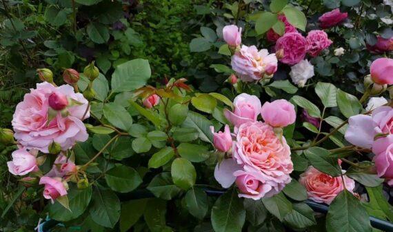 roosipõõsas