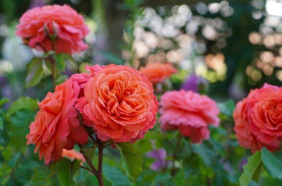 oranzh roos