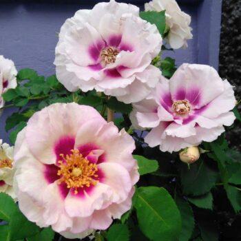 pärsia roos