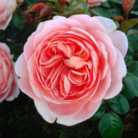 külmakindel roos