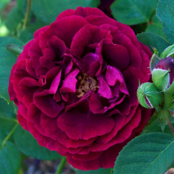 HENRI MARTIN roos